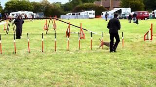 Otto Agility - Border Terrier