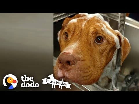 Starving 19-Pound Pit Bull Gains 50 Pounds  | The Dodo Pittie Nation