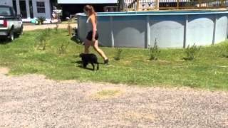 Labrador Retriever Puppy 14 Weeks Old Doing Obedience For Sale