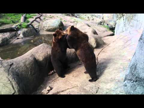 Skansen bear video 1 30082015