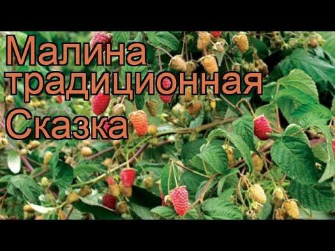 Малина традиционная Сказка (rubus) 🌿 малина Сказка обзор: как сажать саженцы малины Сказка