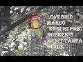 Lovebird Ngekek Panjang Banget Marco Yossi Mater Klaten  Mp3 - Mp4 Download