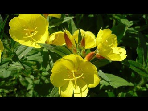 Энотера жёлтая свеча выращивания из семян