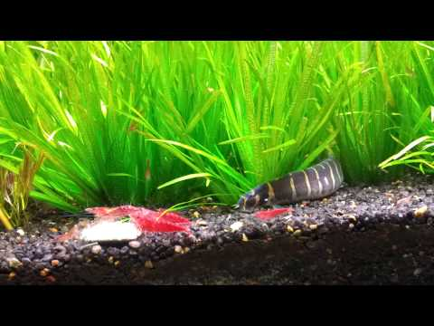 Kuhli Loach Stalking Cherry Shrimp