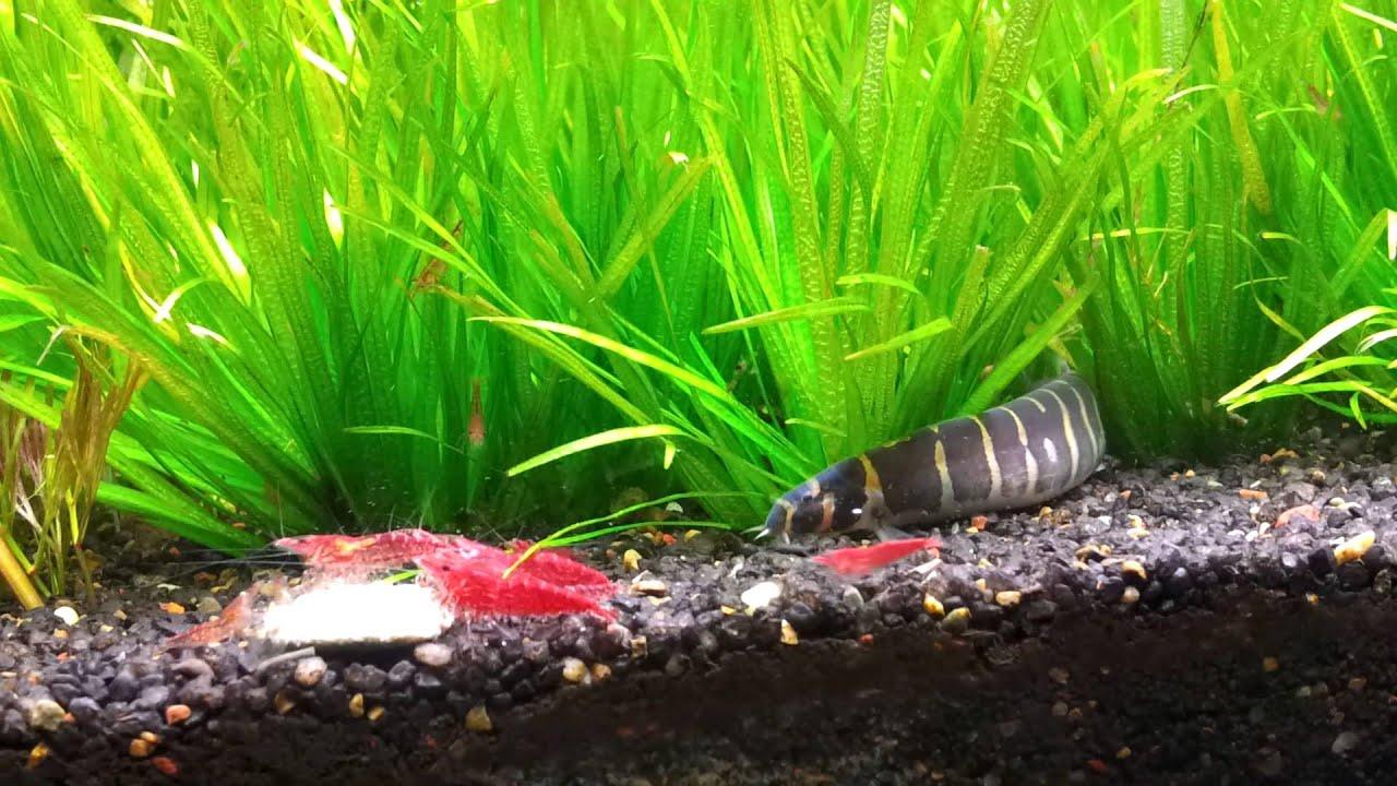 Kuhli Loach kuhli loach stalking cherry shrimp - youtube