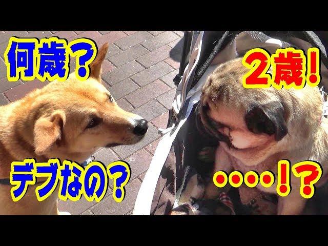 《超ブサかわパグ動画》 うちのパグ 柴犬と会うと、こうなります。『おまめ日記』