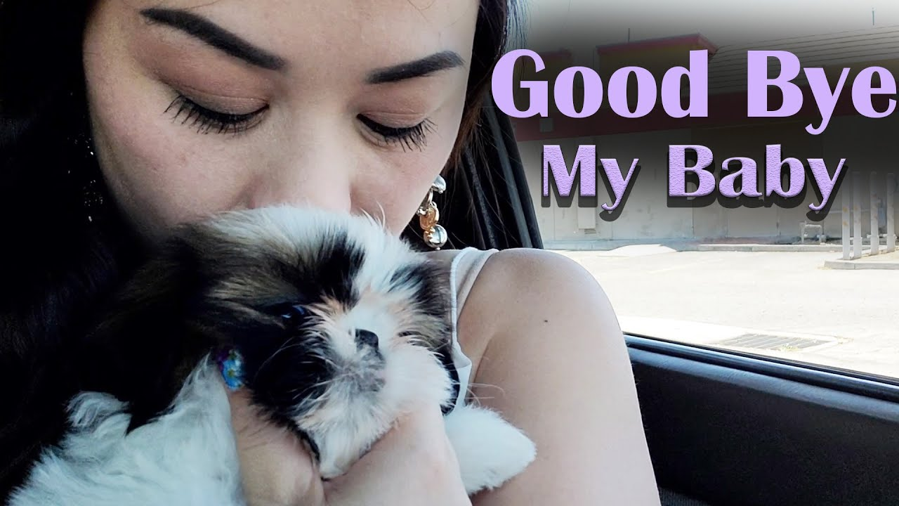 My Last Video with My Puppy || SAD DAY FOR ME || Shih Tzu Puppy