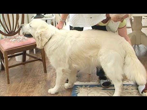 Dog Breed Video: Golden Retriever