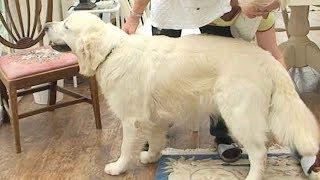 Dog Breed Video: Golden Retriever