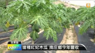 【2013.10.06】搶種紅妃木瓜 南庄鄉今年豐收 -udn tv