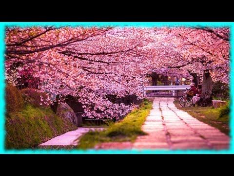 Цветущая сакура в Японии ♡( ◡‿◡ )