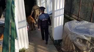 Leul ranit care apare intr un videoclip al manelistului Dani Mocanu a fost gasit