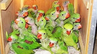 indian green parrot and alexandrine parrot baby