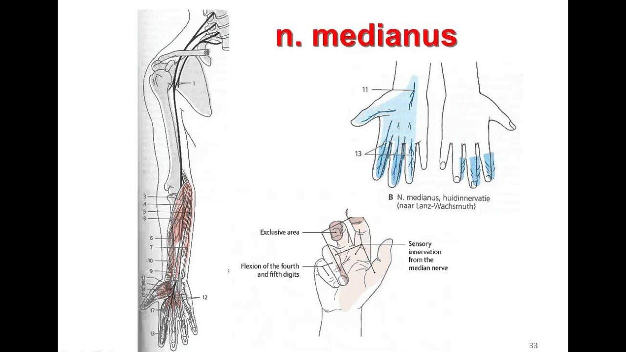 N Medianus