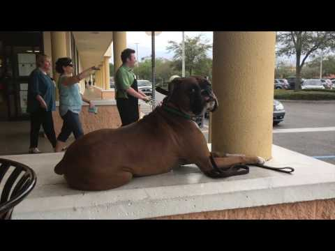 "3 Year Old Boxer ""Zeus"" 
