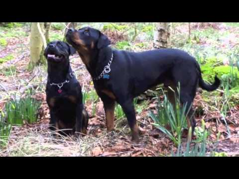 Our Beautiful Rottweilers
