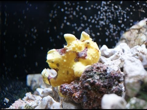 Zeus The Frogfish Lures & Catches A Live Fish *viewer Discretion Advised*