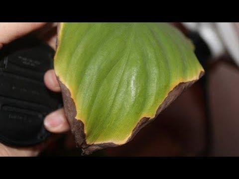 Кончики листьев чернеют и сохнут? Почему так бывает и что с этим делать!
