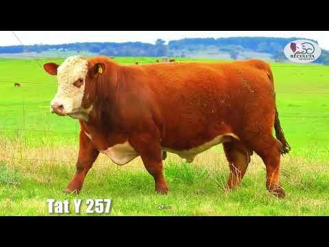 LOTE 07   TAT Y257 TOURO HEREFORD RECULUTA AGROPASTORIL