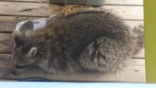 Toronto Raccoon is waiting to give birth?
