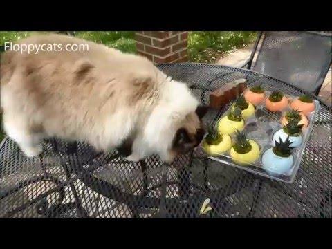 Ragdoll Cats Trigg and Charlie Outside in Spring 2016 - ねこ - ラグドール - = ネコ - ねこ- Floppycats
