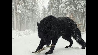 Baixar Two Largest Wolf ever caught on tape
