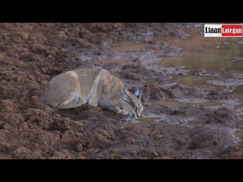 Fantastic Caracal sighting (Seldom seen on Safari)