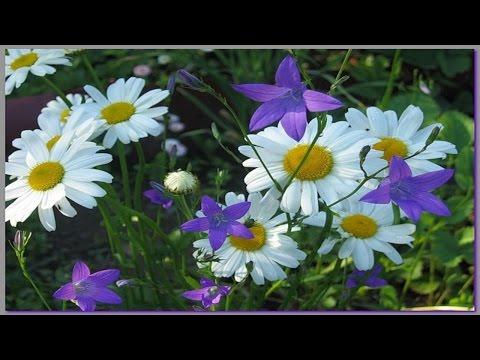 Цветы мать-и-мачеха -