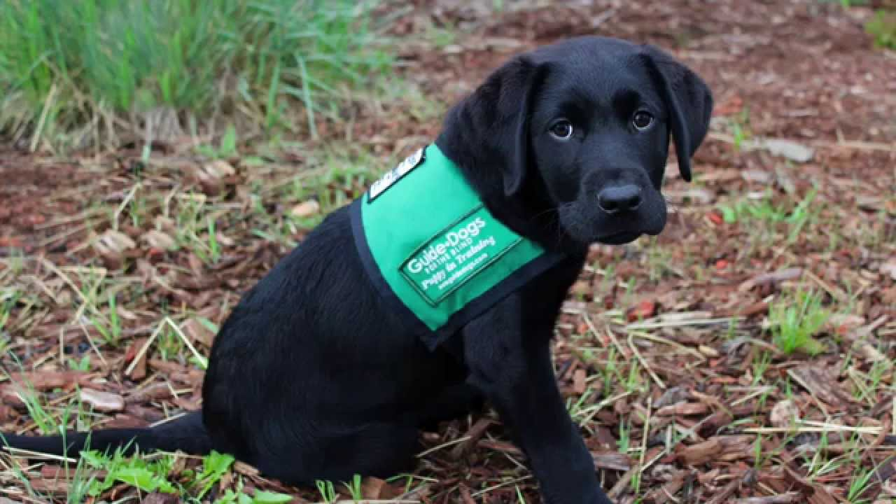 Guide dogs for the blind searching for more puppy walking.