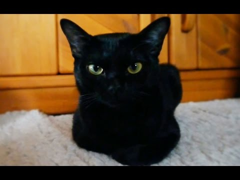 My beautiful Bombay cat ~ Ebony  ~
