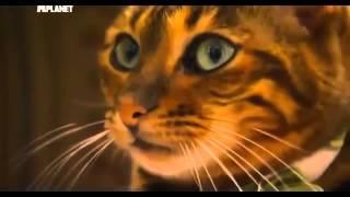 ▶ Тойгер Кошка породистая