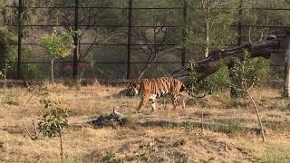 Tiger xxx