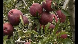 Akalangalile India - Apple farmers in  Himalayala:  Akalangalile India10th Oct 2013 Part 2അകലങ്ങളിലെ ഇന്ത്യ thumbnail