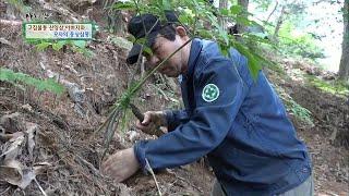 산양삼을 재배하는 고집불통 '삼 박사' …
