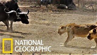 Download Video 僵持不下!當500頭水牛與獅群狹路相逢時會發生什麼事?《國家地理》雜誌 MP3 3GP MP4