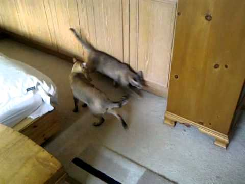 Funny Tonkinese Cats Fighting