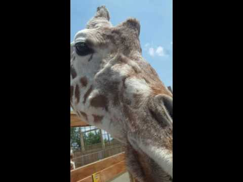 April the Giraffe - Animal Adventure Harpursville, NY