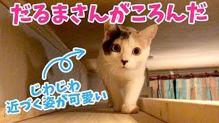 だるまさんがころんだをする猫が可愛い
