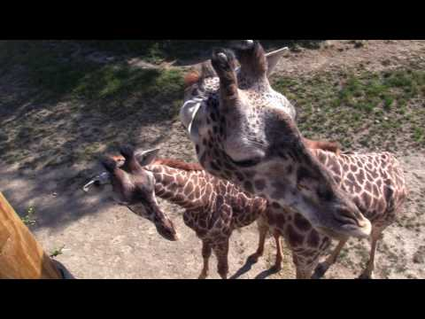 Meet the giraffe herd at Cleveland Metroparks Zoo