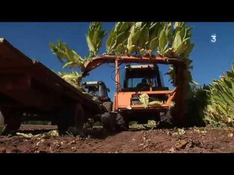 Tabac : l'heure de la récolte a sonné dans le Sud-Aveyron
