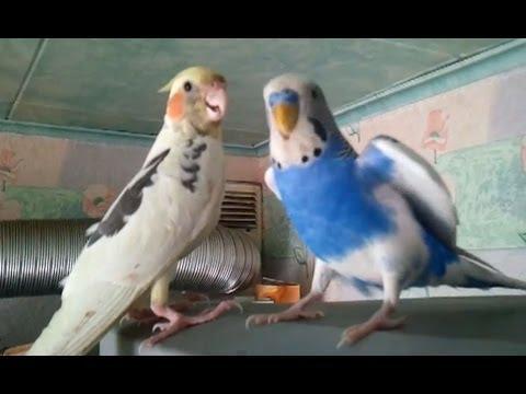 Волнистый попугайчик и корелла.