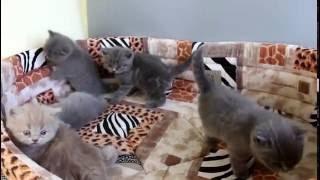 """Купить британского голубого и лилового котенка из питомника """"From Hanna"""""""