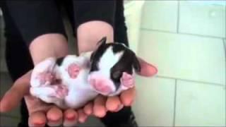 Badem Beagle - Yavru 6 - Puppy 6