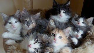 Котята: Барс, Коровка, Чернушный.