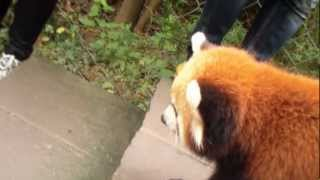 Red Panda Fight next to me