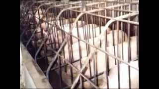Factory Farming Pigs in South Africa​
