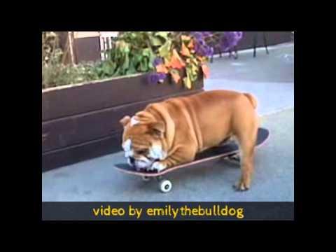 Bulldogs love Skateboards! Bulldogs are the best Skateboarding Dogs ever!
