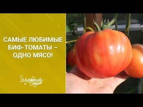 Самые любимые Биф томаты – одно мясо! | крупноплодные | сладкие | садовый | вкусные | томаты | сочные | мясные | аэлита | самые | пинк