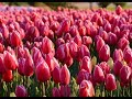 Tulip Fields in My Garden, Spring...