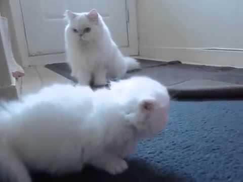 chatons  persan en vente